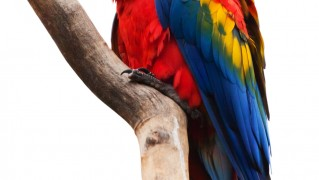 scarlet-macaw-isolated