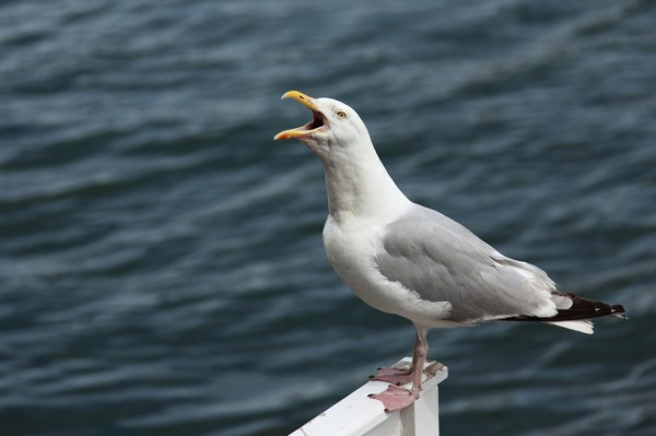 screaming-seagull-871281366461T69A