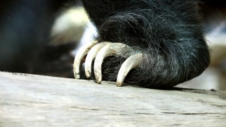 sloth-bear-claws