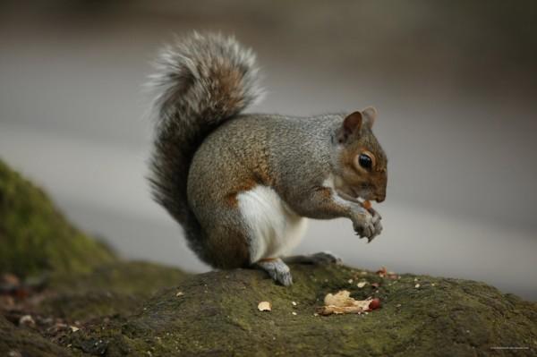 squirrel-eating-nut