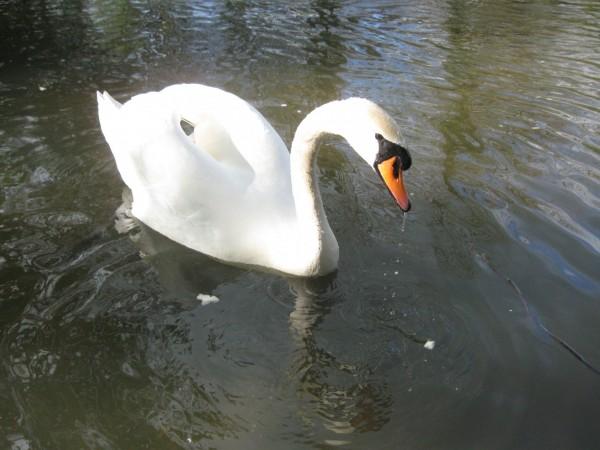swan-1399391074Tn7