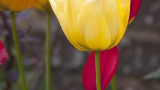 tulips-1399455305fu7