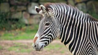 zebra-head-11281366876AZ3M