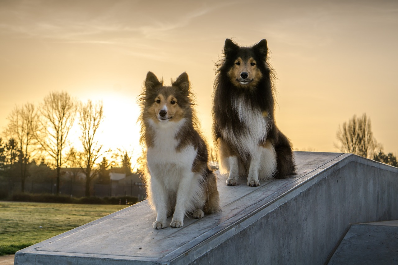 shelties-1127870_1280